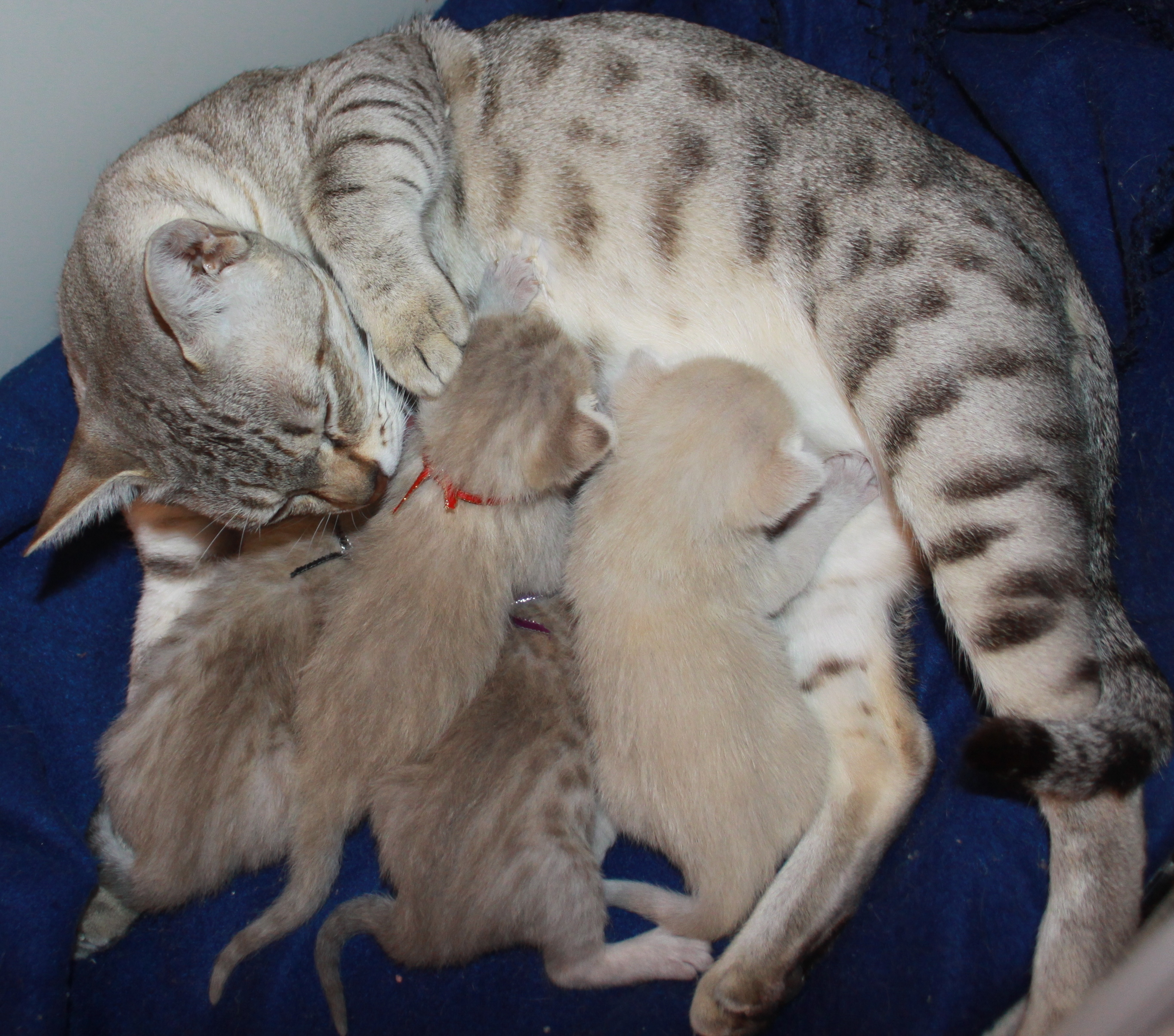 Click to enlarge image Juno  Jaffars babies 12 days old 1.JPG